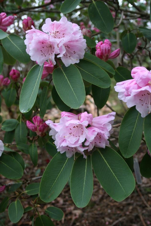 Store busker av gruppen Rhododendron oreodoxa vil du kunne sjå no både i...