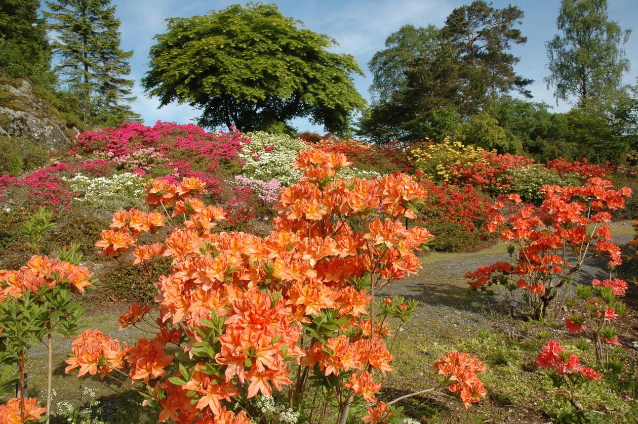 Azalea blomstrer på oppsiden av vegen