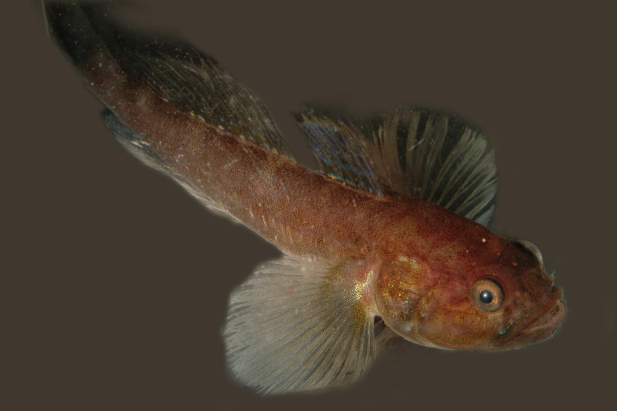 Photograph of an unremarkable looking brown fish