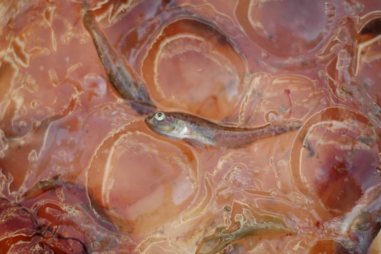 The goby thrives among jelly.