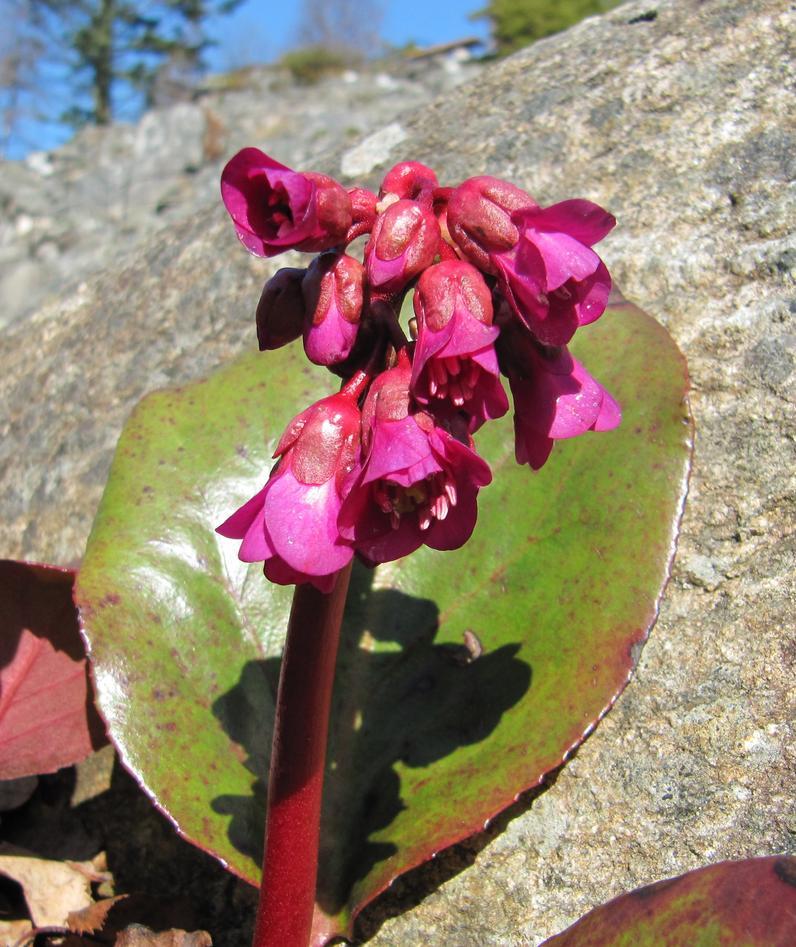 Bergenia ' Vinterglød' har flotte mørke røde blomer no tidleg på våren.