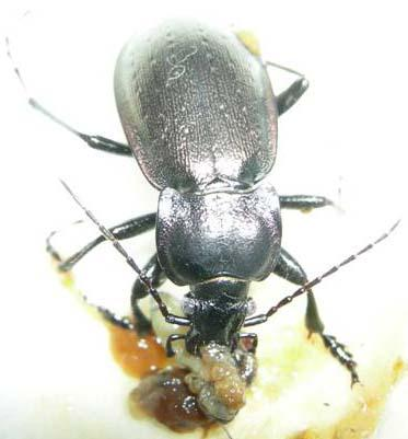 A carabid beetle, Carabus nemoralis, eating a brown slug, Arion lusitanicus