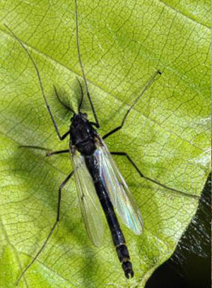 Male imago of Chronomus anthracinus