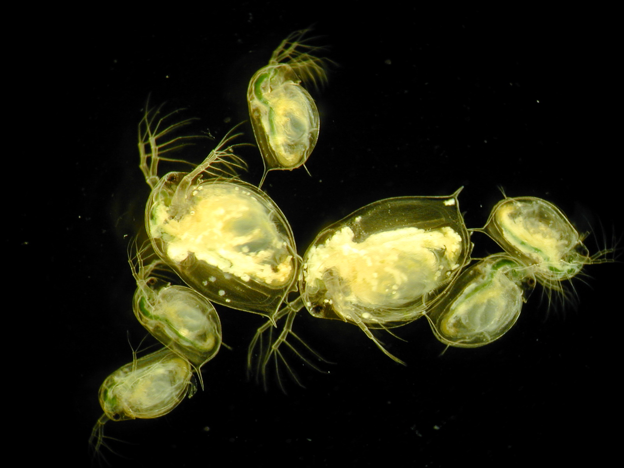 Evolution Of Daphnia In The Wild And In The Lab