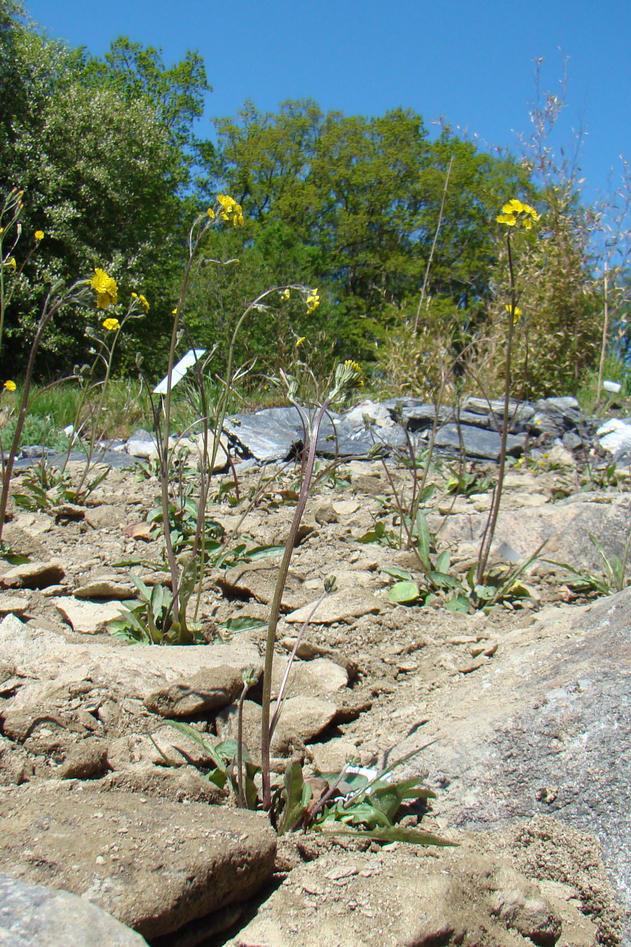 Oversiktsbilde av Altaihaukeskjegg (Crepis multicaulis) i Botanisk hage...