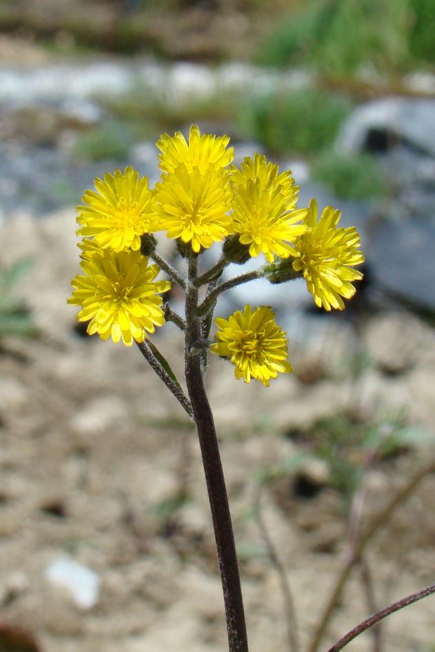 Detaljbilde av blomsten til Altaihaukeskjegg (Crepis multicaulis) i Botanisk...