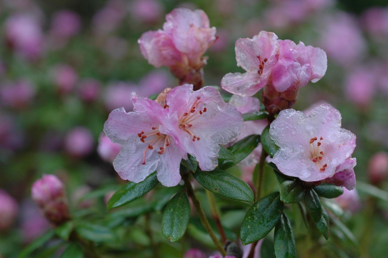 Rhododendron 'February Dawn' er den som blomstrer tidligst - allerede i februar