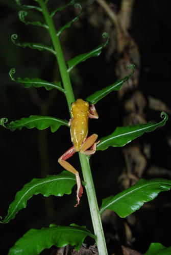 A small yellow frog crawling up a partially unfurled fern frond