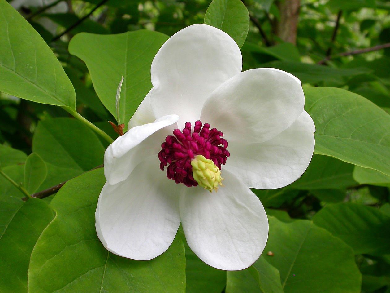 magnolia sieboldii junimagnolia universitetet i bergen. Black Bedroom Furniture Sets. Home Design Ideas