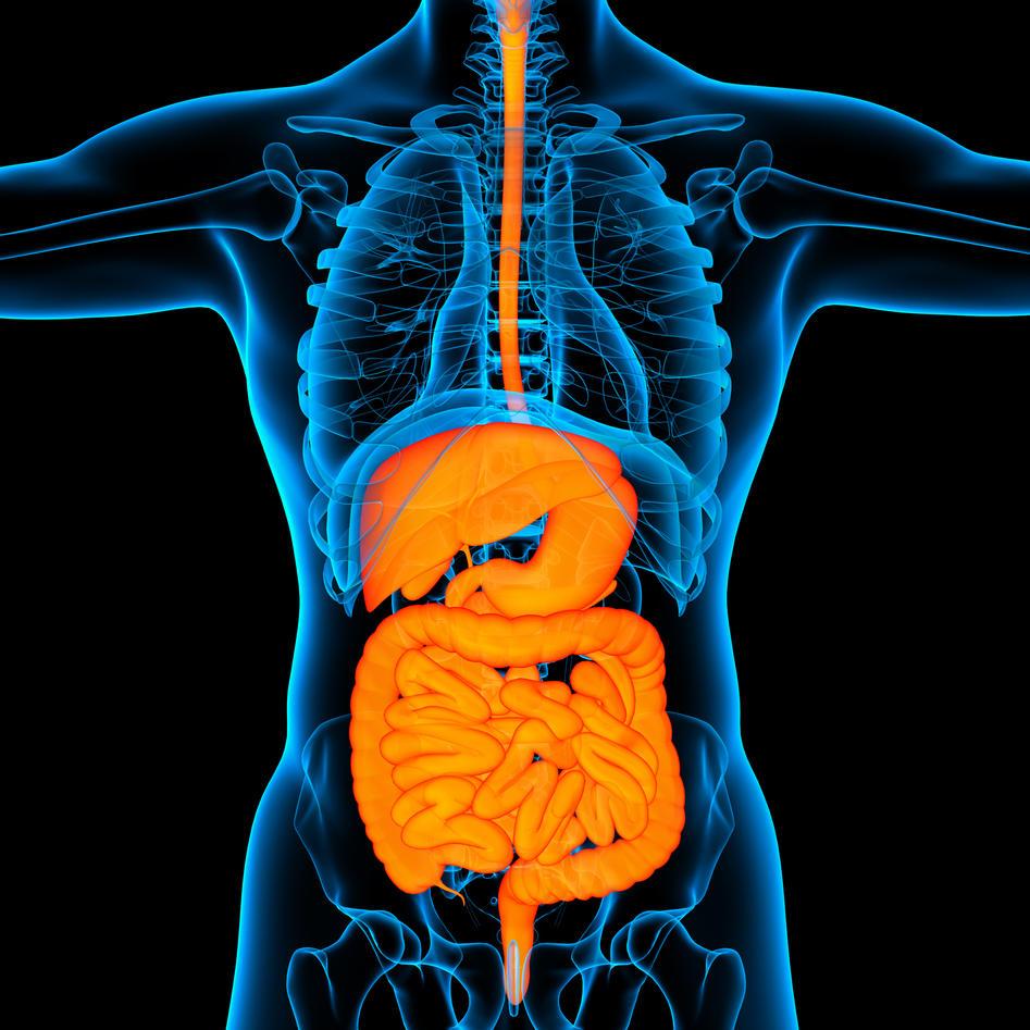 Illustration; gastrointestinal system