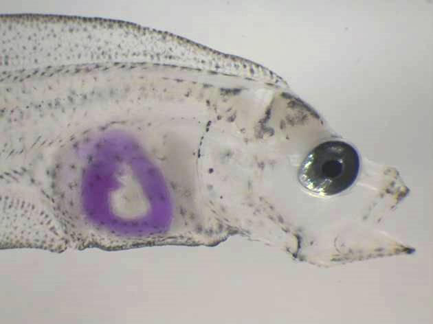 Atlantic halibut larvae before metamorfosis with pH sensitive solution in the...