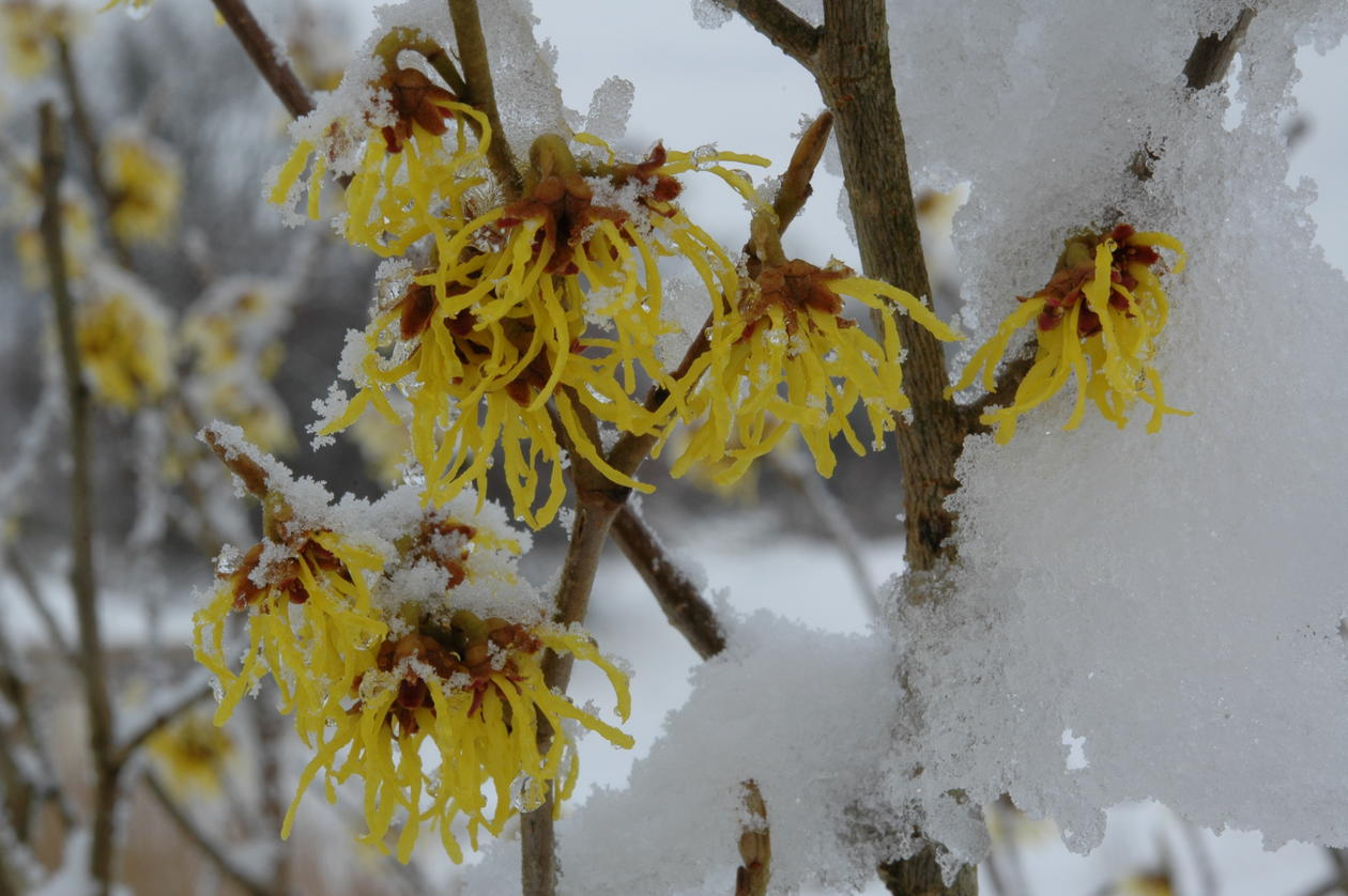 Nærbilde av blomsten med snø i februar 09.