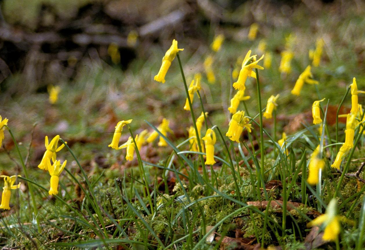 Cyclamen-narsiss (Narcissus cyclamineus)i Hatlehaugen, er truleg den einaste ...