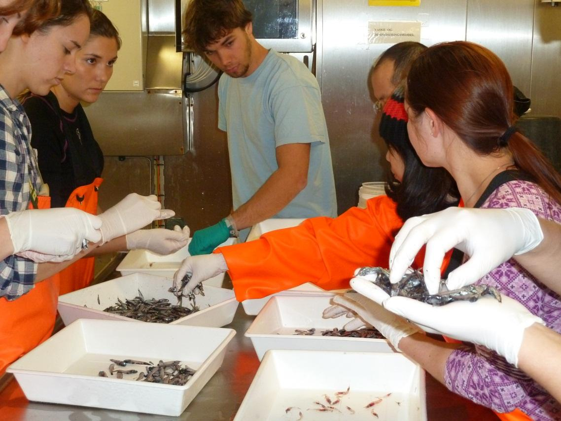 Henrik (middle) and fellow students sorting trawl catches of mesopelagic fish...