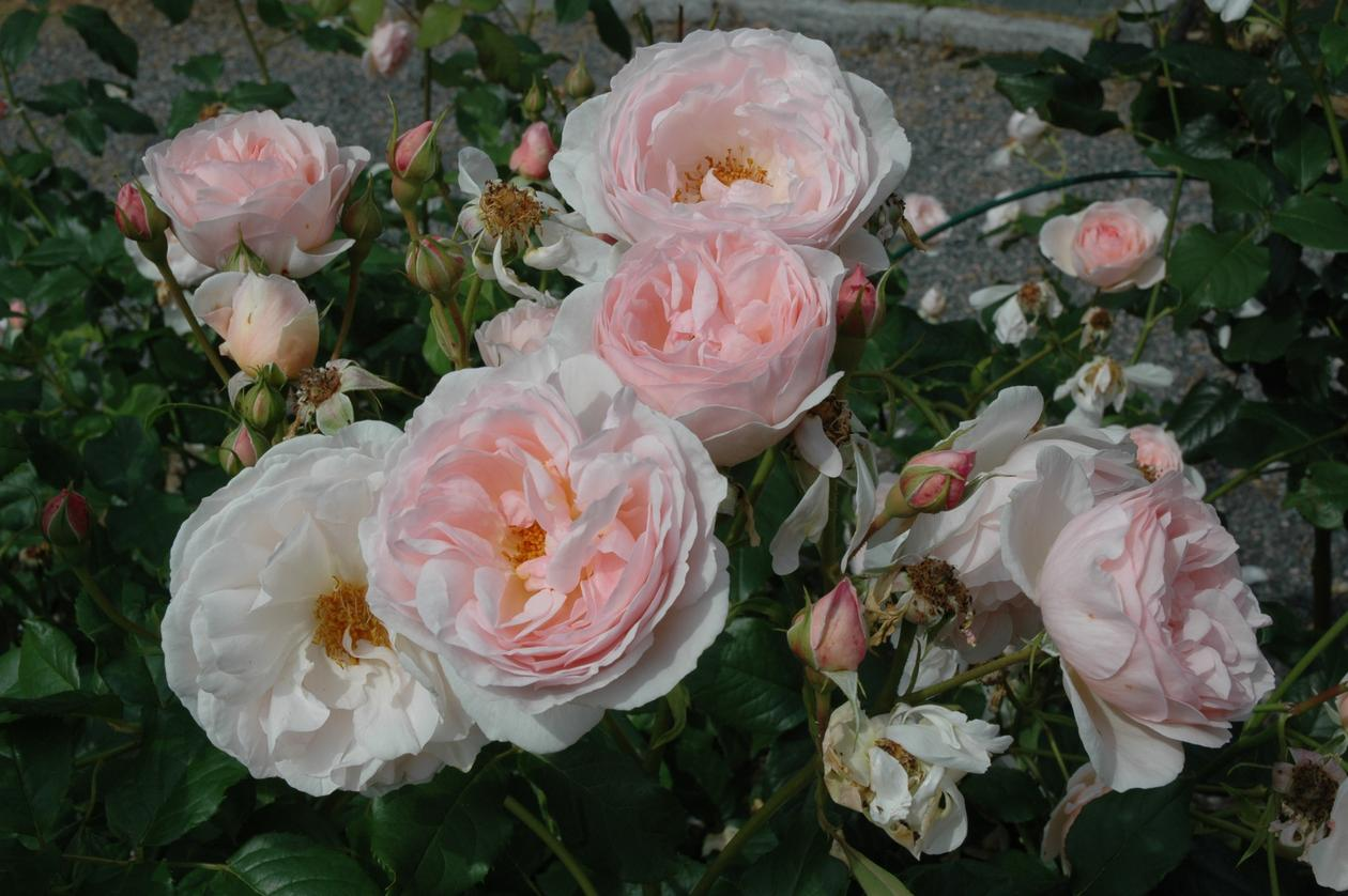 Historiske roser er ofte veldig fylte