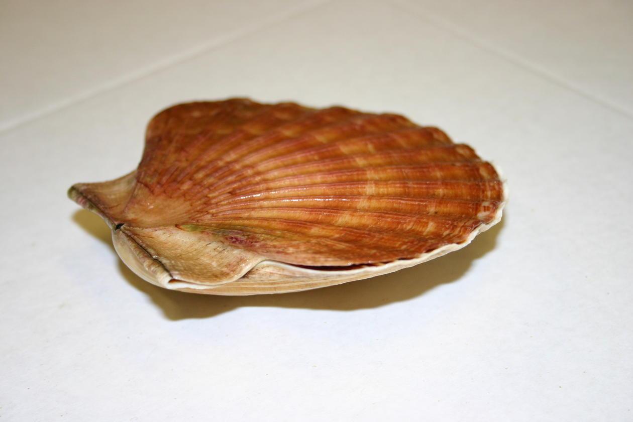 The native European scallop, Pecten maximus