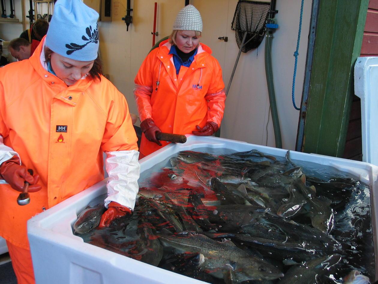 Charlotte Krafft and Vibeke Lokøy selecting fish to be sampled for final data...