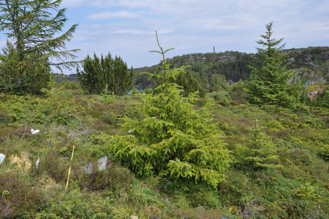 Sitka spruce invader