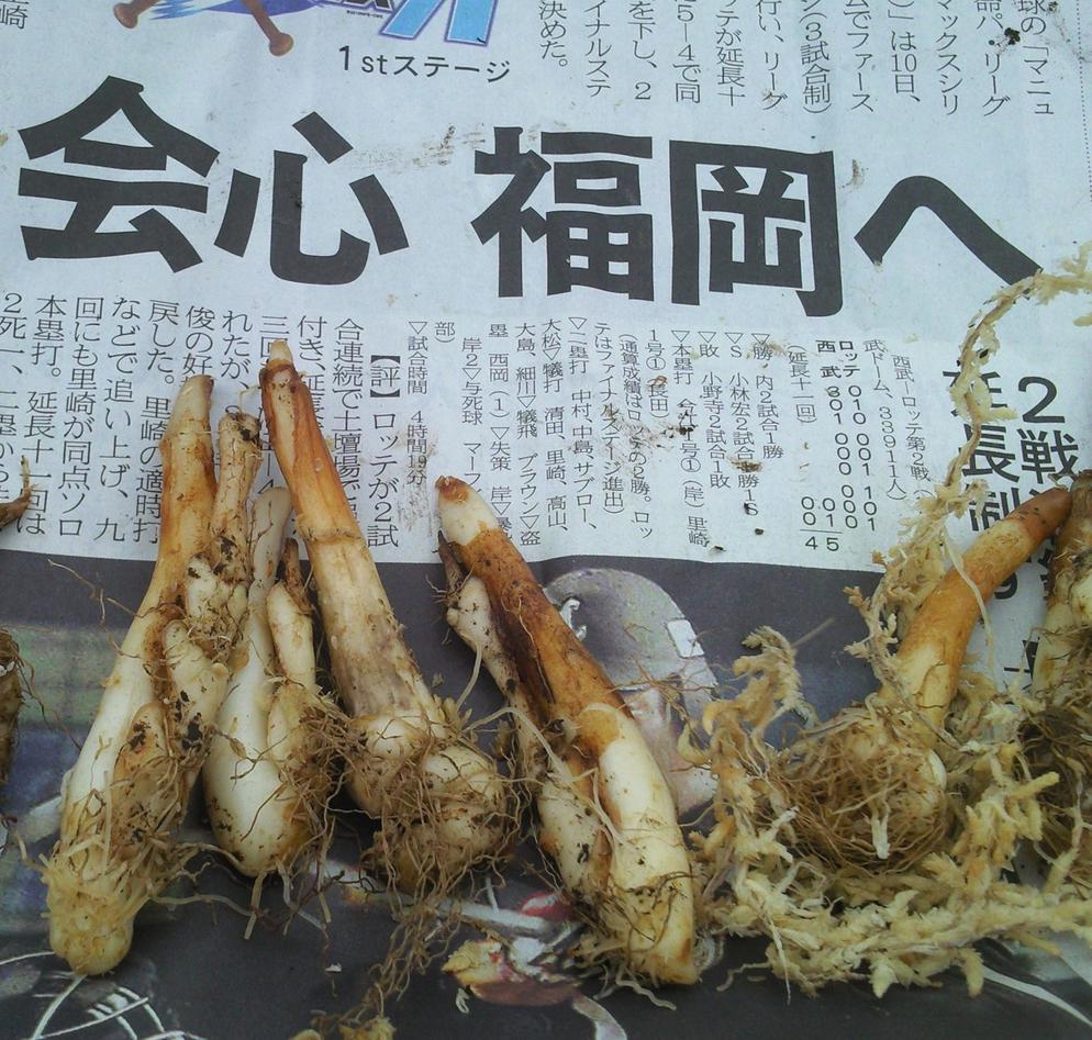 Ferske tannliknande knollar av hundetann, Erythronium japonicum kom sirleg...