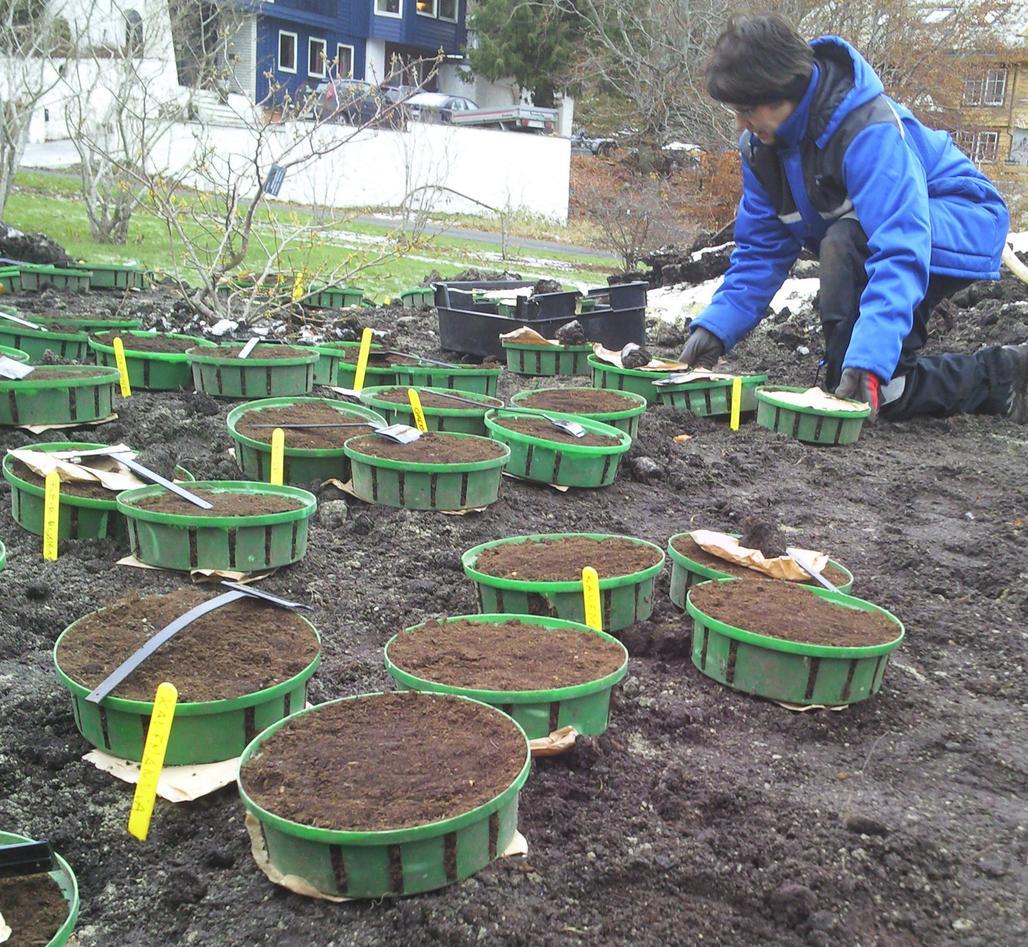 Bodil Oma ordnar til ny utstilling av tulipanar i Solåkeren i Botanisk hage.