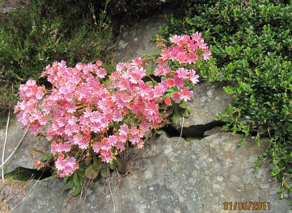 Several luxuriant Lewisia cotyledon thrive well in this crevice that seems to...