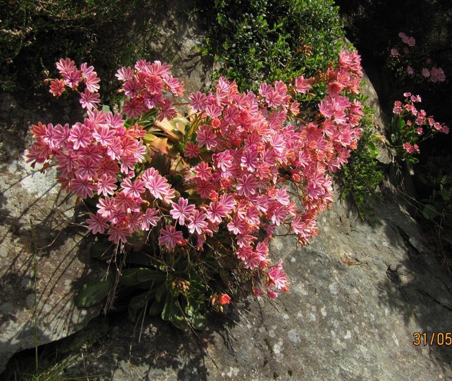 Siskiyou Lewisia (Lewisia colyledon) in a fine crevice near the Heather...