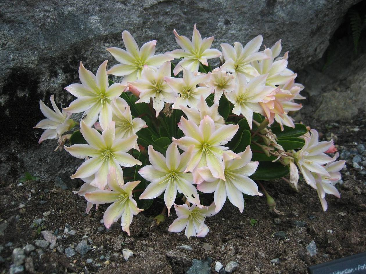 Tweedy's Pussypaws, Lewisia tweedyi, in the Alpine Garden of the Botanical...