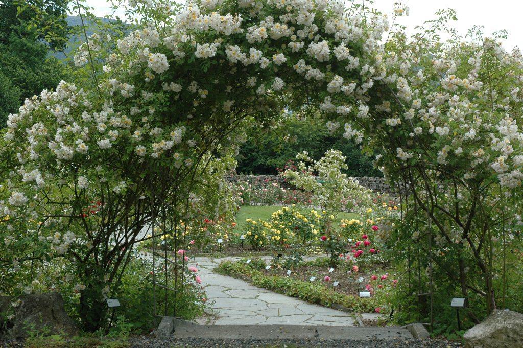 Tusenvis av knopper på Rosa 'Lykkefund' pynter snart portalen inn til dei...