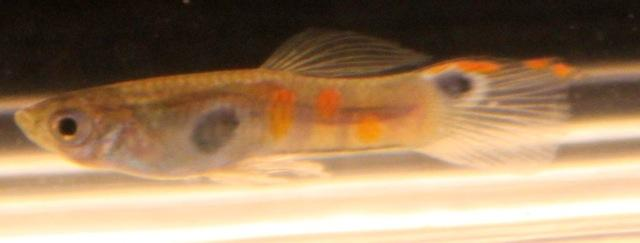 Male guppy from the social experiment