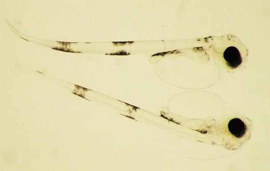 Nylig klekket torsk larver