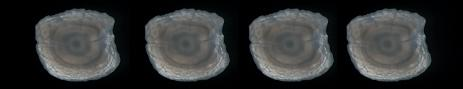 Picture of sole otoliths
