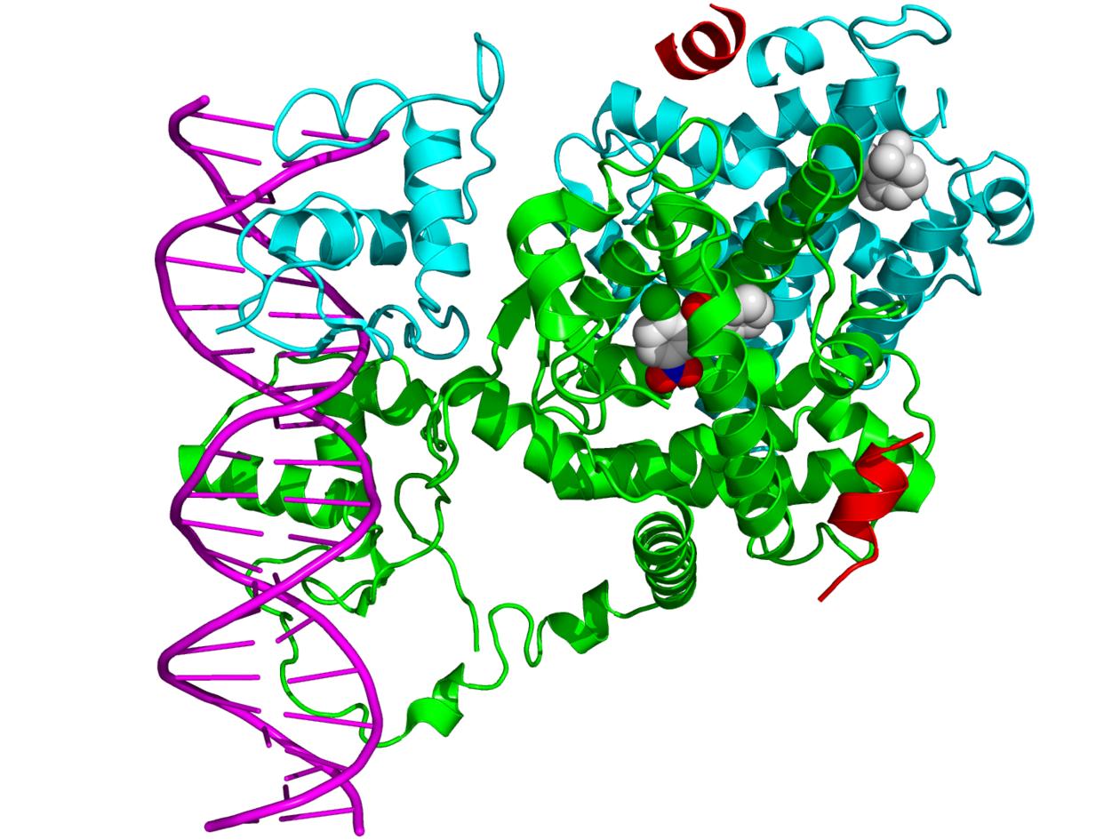 Krystallstruktur av heterodimer av kjernereseptorane PPAR-γ (grøn) og RXR-α ...