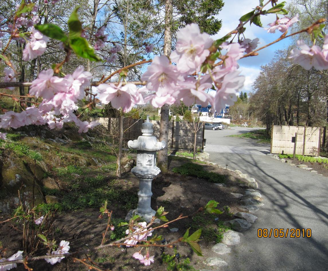 Prunus 'Accolade' i blom i Japanhagen.