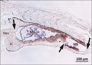 Digestive tract cross-section from an Atlantic cod larvae