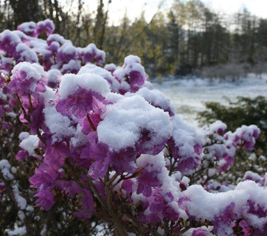 Rh. mucronulatum med snø, 10 mai.