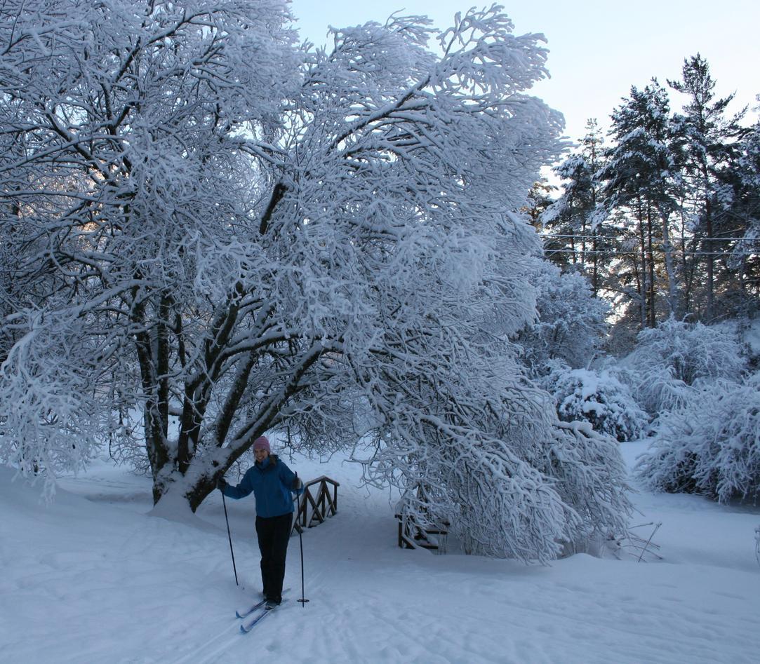 Snødekt selje over brua i Miniarboretet.