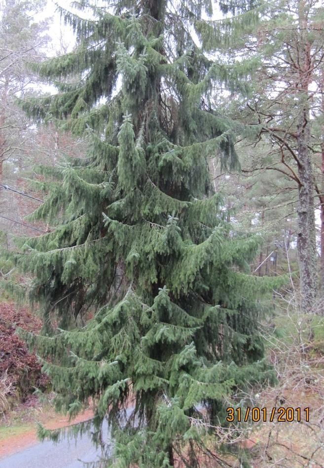 Typisk hengande og utoverbøyde greiner på Serbergran....