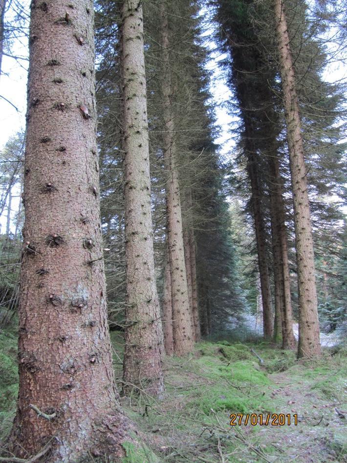 Typisk stammebark og småkvistet slanke stammer på tettplanta serbergran