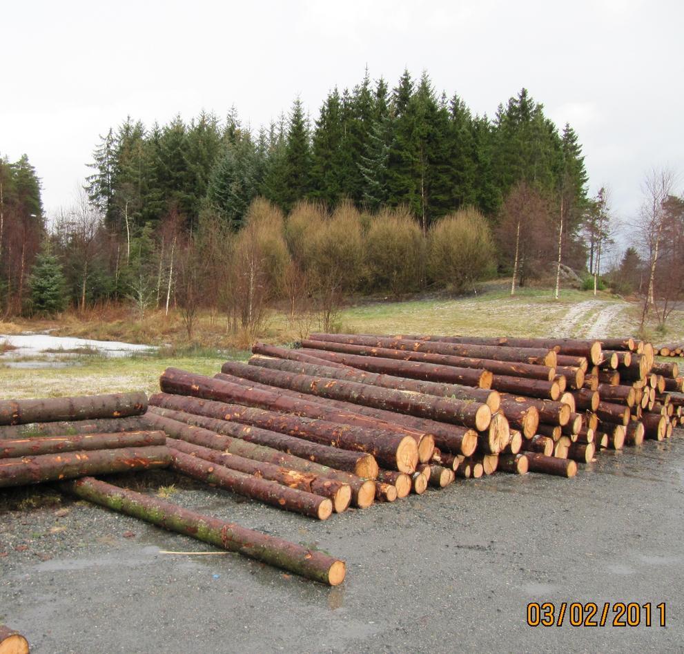 Tømmer av Sitkagran vert no eksportert til Europa.Her på Dalsmyra ser ein og...