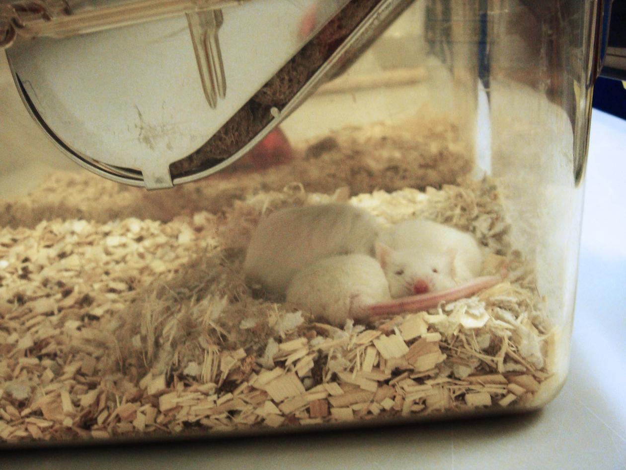 Mus som sover i åpent bur (makrolon).