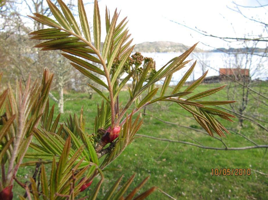 Sorbus scalaris er allereie i blomeknopp før vår eigen rogn har kome med blad.