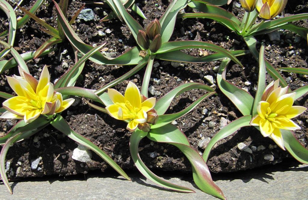 Skjermtulipan, Tulipa tarda er ein av dei villige Botaniske tulipaner som ein...