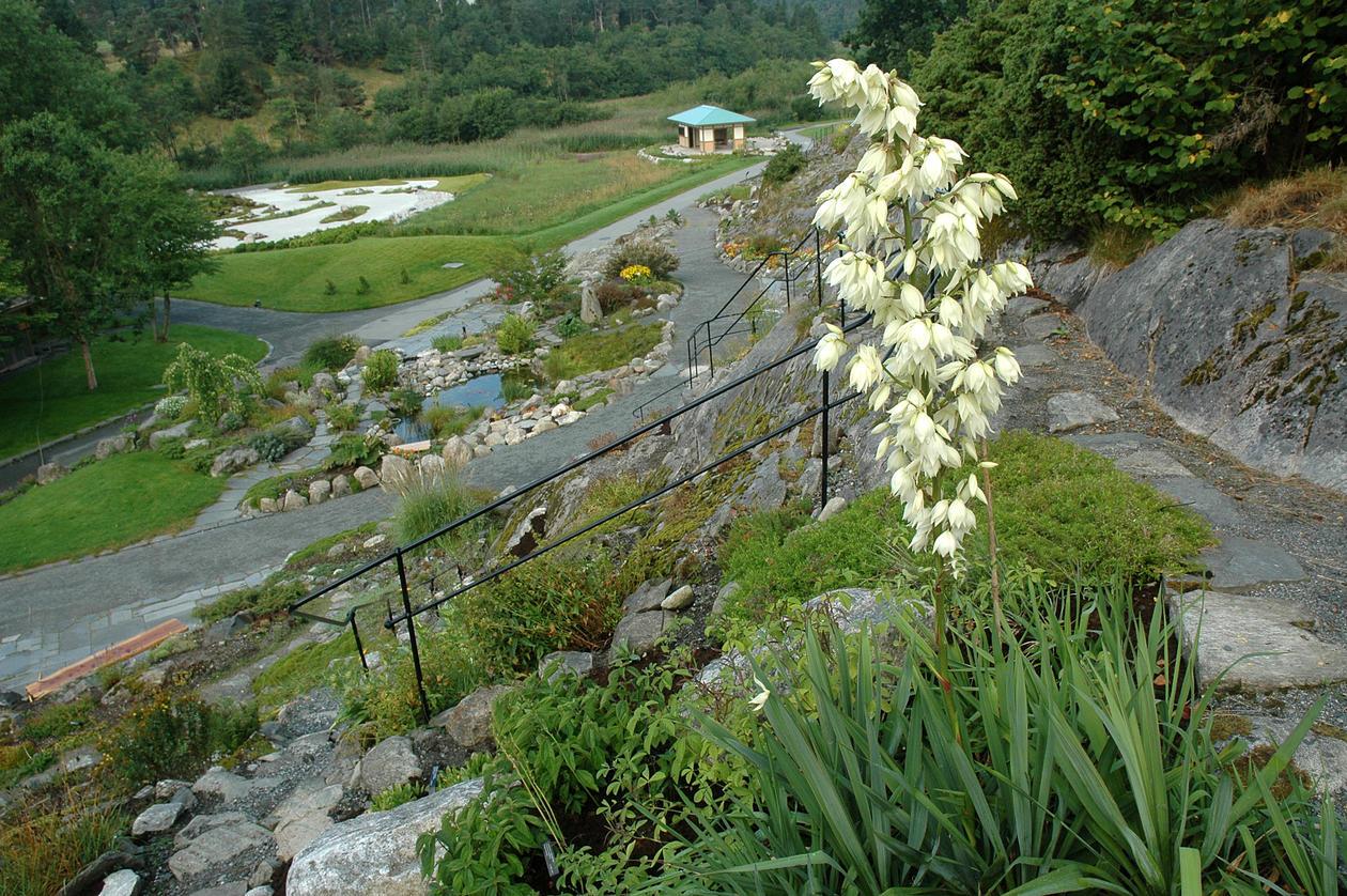 Fjellhagen med Yucca filamentosa. I bakgrunnen ligg Tepaviljongen i Japanhagen.
