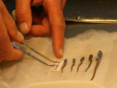 sortering av marine prøver