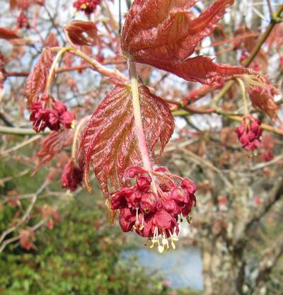 Japanlønn, Acer japonica, kjem tidleg med kobberbrune blad og raude blomar.