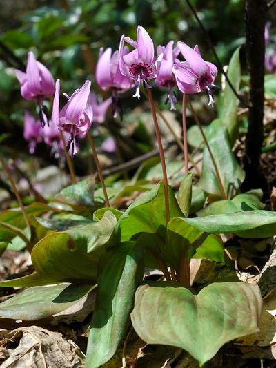 Slik fine blomar av Erythronium japonicum håper vi skal dekke skogsbotn i...