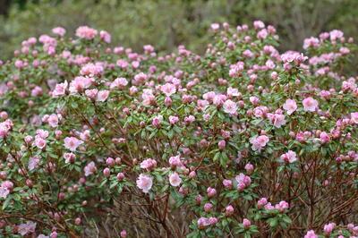 'February Dawn' i Nydalen er den fyrste i blom av dei tidlege Rhododendron