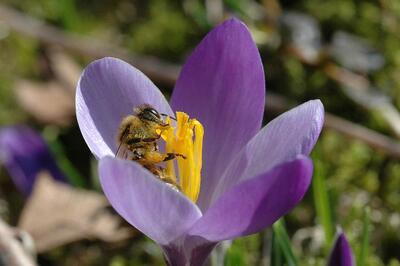 Sol vil opne krokusblomen som vert flittig bestøvet av biene på Milde