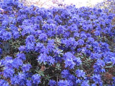 """Rh. Azurika er ein av dei mange blå småblada rhododendron i den """"Blå bakken"""""""