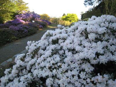 Rh. Dora Amateis er ein av sortene med dei klarast kvite blomar. Står no fint...